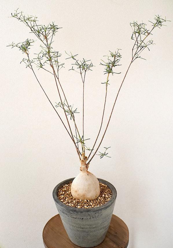 Euphorbia-hedyotoides